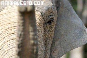 El Elefante Asiatico