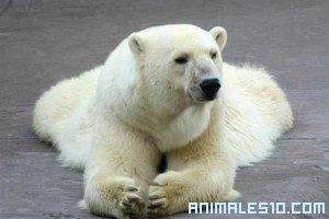 Lucha Animal entre Oso Polar y Morsa