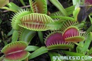 Plantas carnívoras cazando Insectos