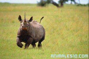 Ataque de Rinoceronte
