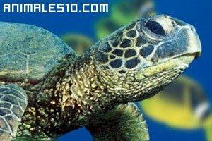 Tortugas nadando en el Mar