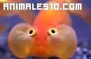 Un curioso pez naranja