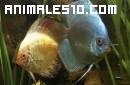 Una pareja de peces protege a sus crías