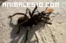 Tarantula en lucha con una avispa