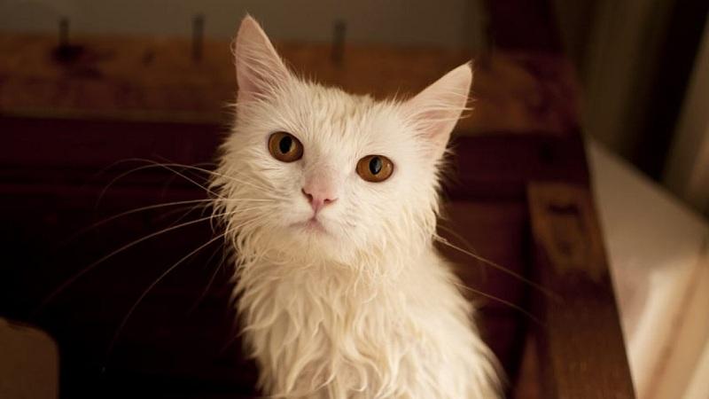 bañar correctamente a tu gato