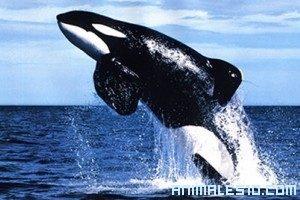 Ataque de Orcas a Focas