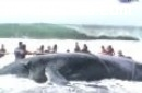 Video completo rescata de una ballena varada
