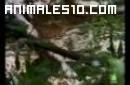 Crías del Caiman