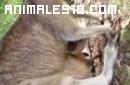 Canguro y su bebe