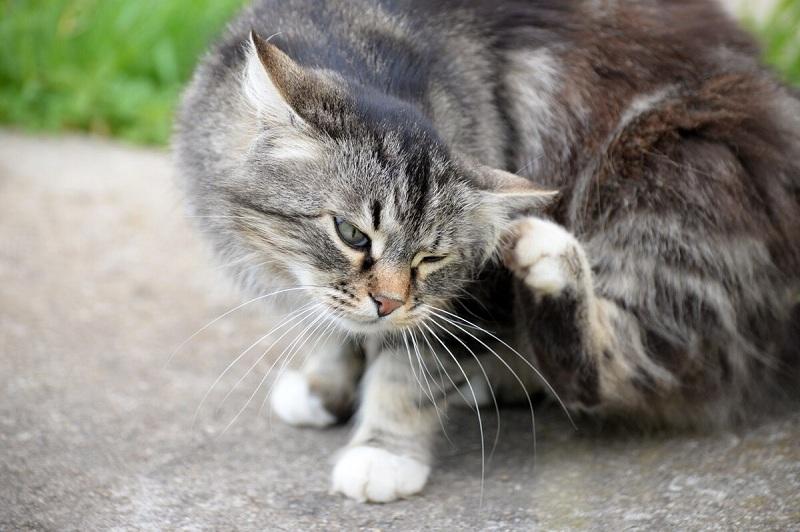 combatir pulgas en los gatos