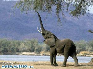Elefante alimentándose