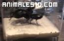Escarabajo gigante contra Escorpion