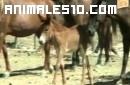 Faltan burros y asnos en Cuba