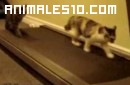 Gatos entrenando en cinta andadora