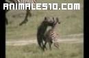 Hienas comiendo