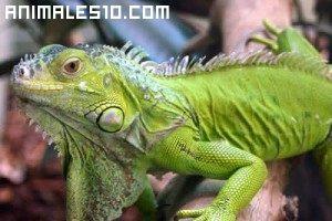 Iguana Salvaje
