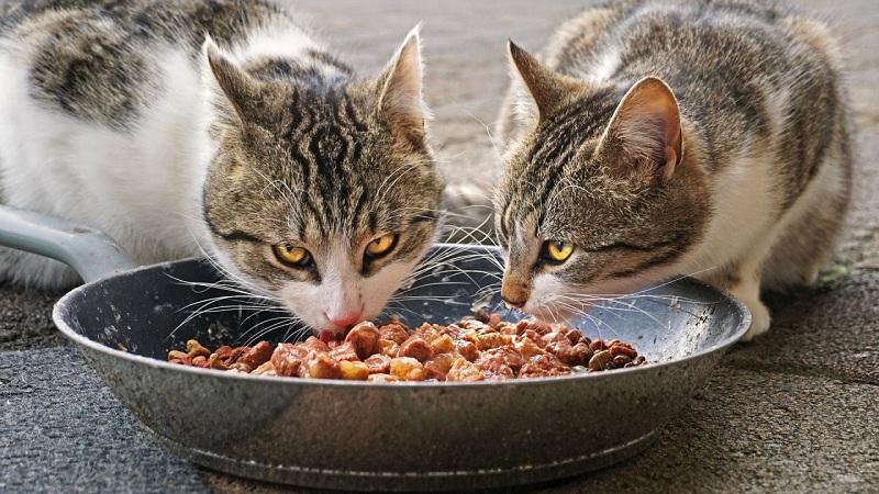 mejor dieta felino