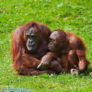 Orangután con su cria