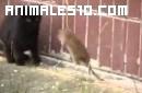 Rata gigante ataca a varios gatos