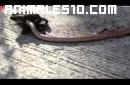 Cobra intenta devorar un sapo gigante