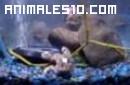 Rana atacada por dos pirañas