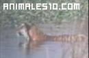 Tigres contra cocodrilos