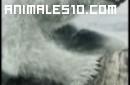 Duelo animal. Oso polar contra Morsa. P4
