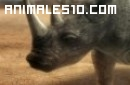 Duelo animal. Elefante contra rinoceronte.P4