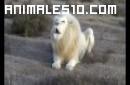 Precioso leon albino