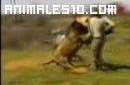 Un leon ataca