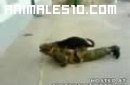 Perro violador de soldados