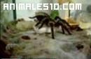 Tarantula cazando raton